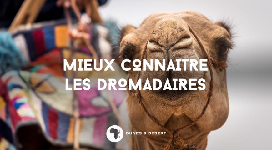 mieux connaitre les dromadaires avec dunes & desert